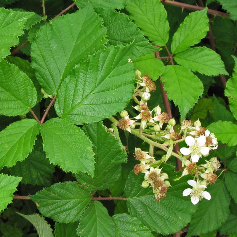 Lieblings Brombeere - Echte Brombeere – Rubus fruticosus L #UC_24