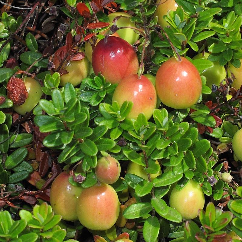 Berühmt Moosbeere - Cranberry - Großfrüchtige Moosbeere - Vaccinium &JI_37