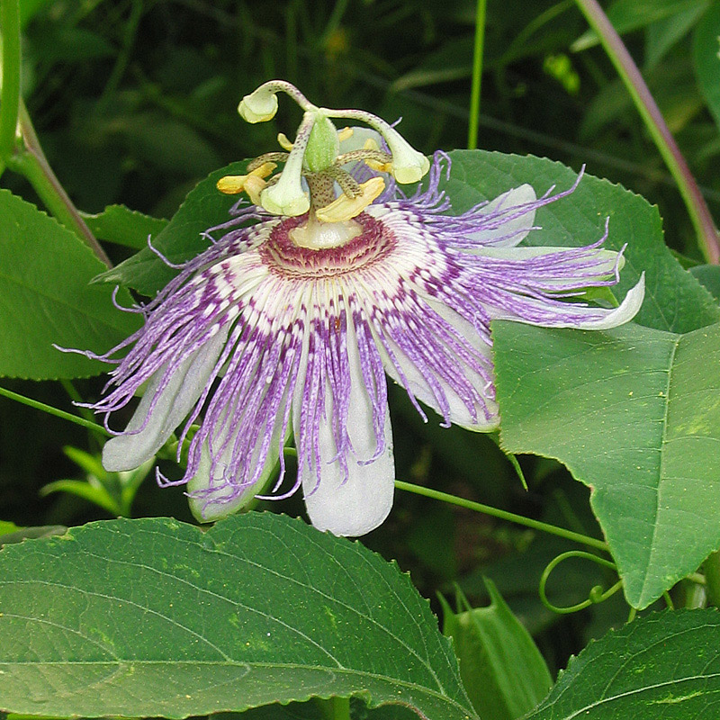 Passion Flower Flesh Coloured Passion Flower Passiflora Incarnata L Medicinal Plants Kooperation Phytopharmaka