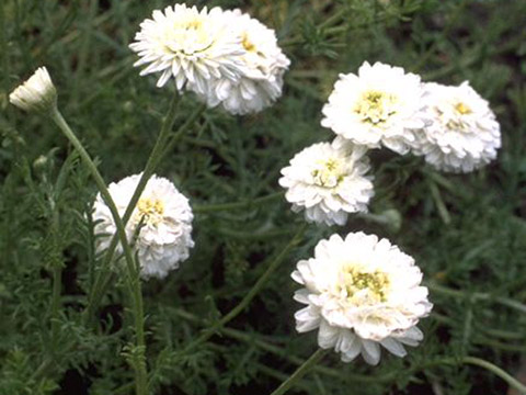 Außergewöhnlich Römische Kamille - Römische Kamille Chamaemelum nobile (L.) All #MO_52