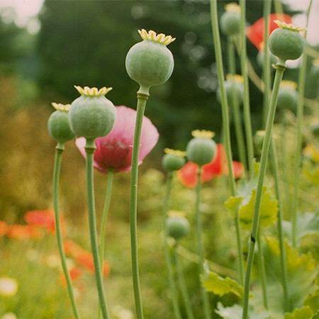 eingestellte opiumtinktur prüfen